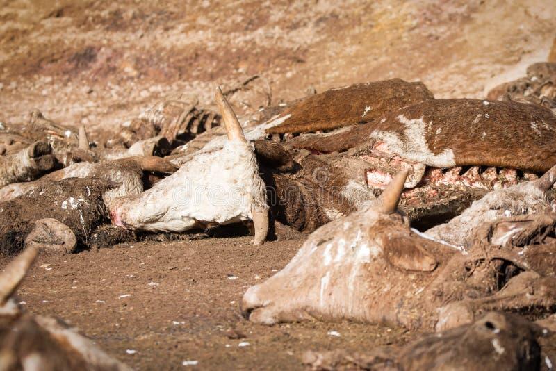 在地面上的死的母牛 库存图片