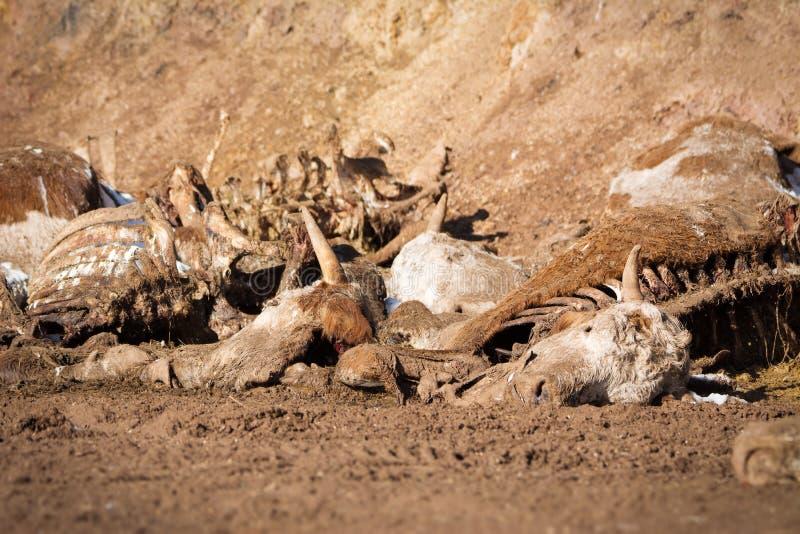 在地面上的死的母牛 免版税图库摄影