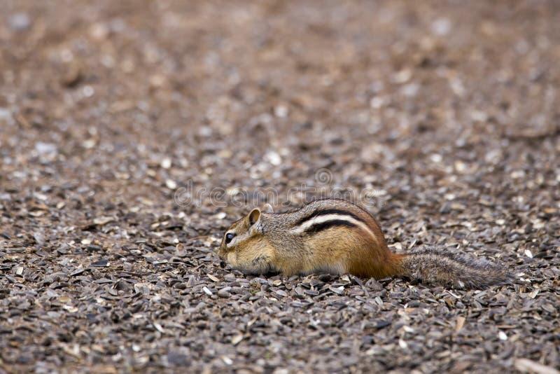 在地面搜寻的外形看见的微小的东部花栗鼠为食物 库存图片