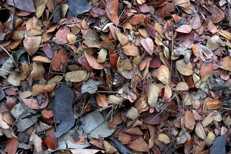 在地面的下落的柚木树叶子,堆肥秋天叶子、生物量和腐土,有机材料 免版税库存图片