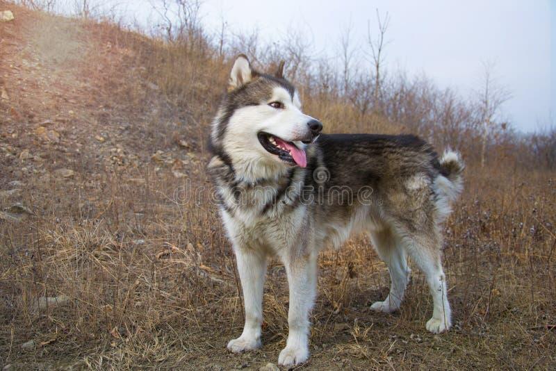 在地面的大阿拉斯加的爱斯基摩狗身分和看正确与舌头 早期的春天或秋天 免版税图库摄影