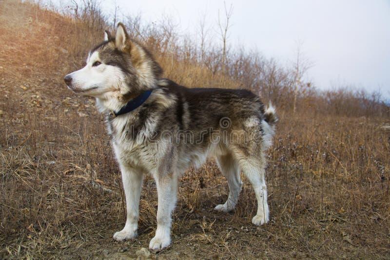 在地面的大阿拉斯加的爱斯基摩狗身分和看直接 早期的春天或秋天 库存照片