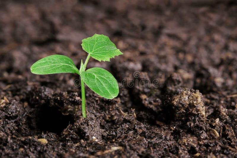 在地面的小绿色黄瓜幼木 库存照片