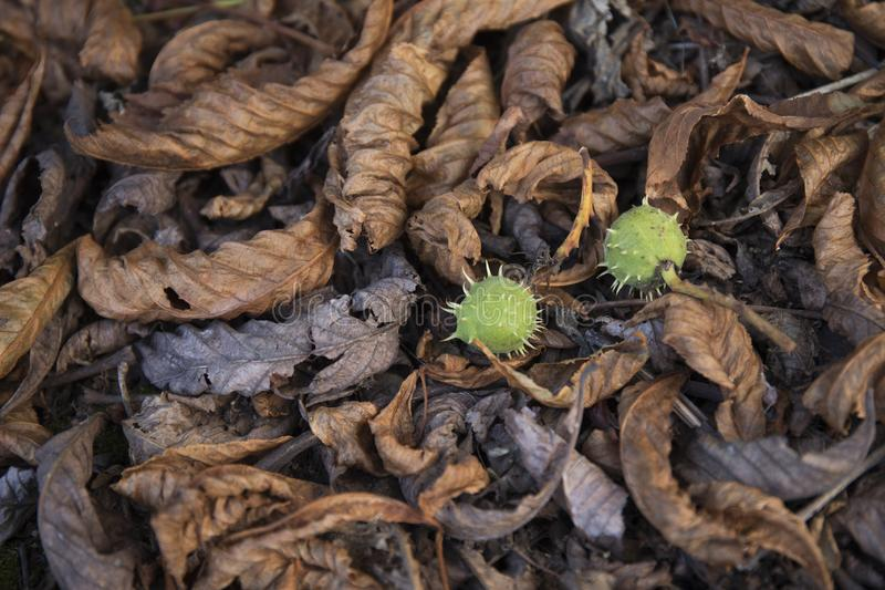 在地面的干燥叶子 灰色和棕色叶子在森林里报道地面表面是秀丽样式背景 图库摄影