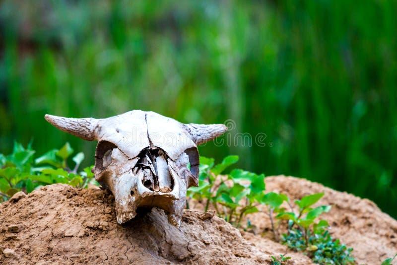 在地面的接近的uo老母牛头骨 免版税库存照片