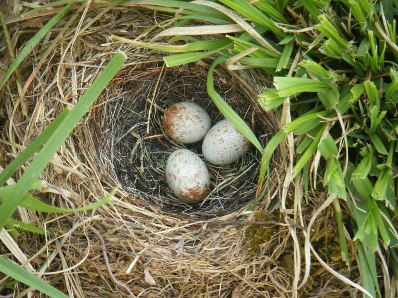 在地面的白的Breasted五子雀巢 免版税图库摄影