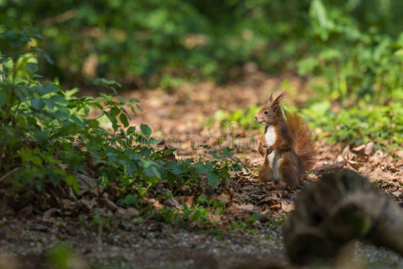 在地面的红松鼠 免版税图库摄影