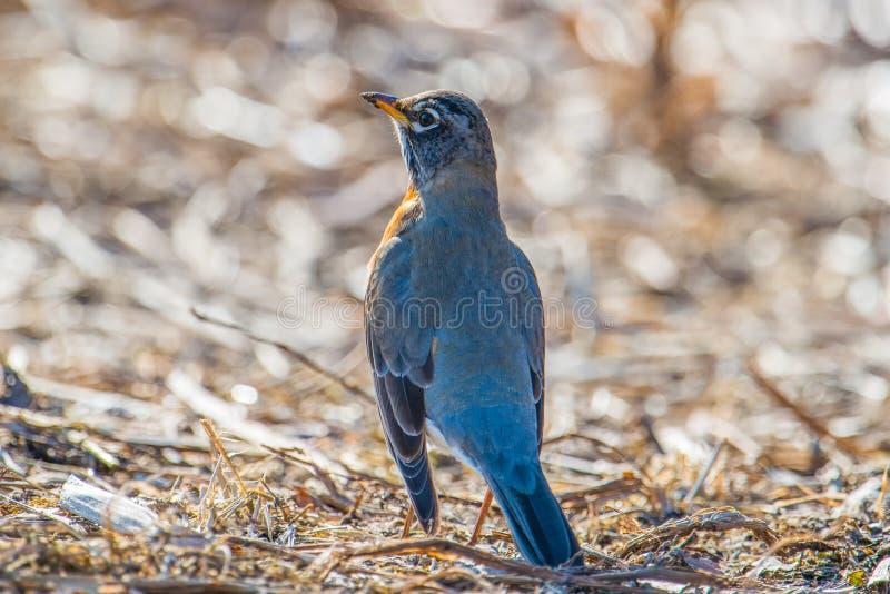 在地面的美国知更鸟画象身分-美好的明亮的被日光照射了模糊的bokeh背景 免版税库存图片