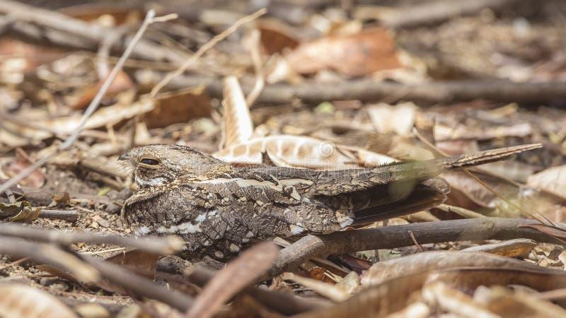在地面的苗条被盯梢的夜鹰 图库摄影