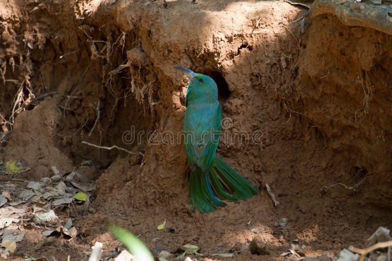 在地面的青有胡子的食蜂鸟本质上 免版税图库摄影