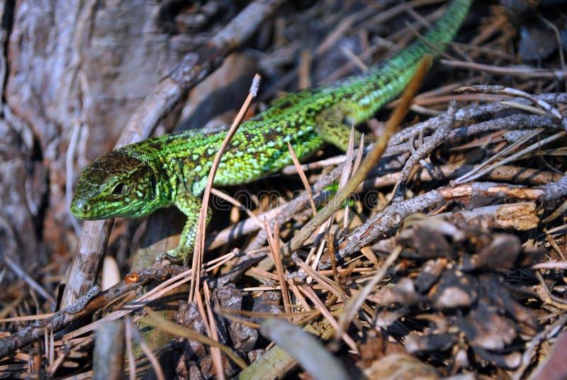 在地面的鲜绿色蜥蜴与干燥杉木针和锥体,细节,软的模糊的bokeh的宏观关闭 免版税库存照片