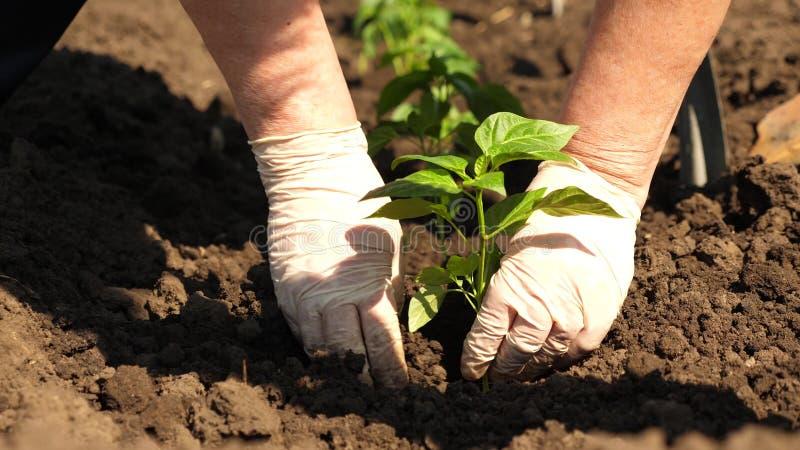 在地面种植的绿色新芽用在手套的手 r 蕃茄农夫的耕种 蕃茄幼木是 免版税库存图片