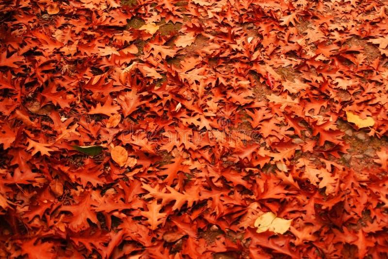 在地面,地毯堆上的叶子在橡木森林里 库存图片