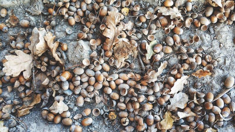 在地面,秋天,自然本底上的橡木橡子, 免版税图库摄影
