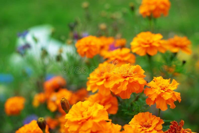 在地面tagetis的秋天橙色花连续开花几年自然植物选择聚焦被弄脏的背景 库存照片
