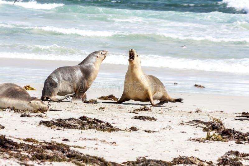 在坎加鲁岛海岸线,南澳大利亚,封印海湾的愤怒的澳大利亚海狮Neophoca灰质的战斗 免版税库存照片