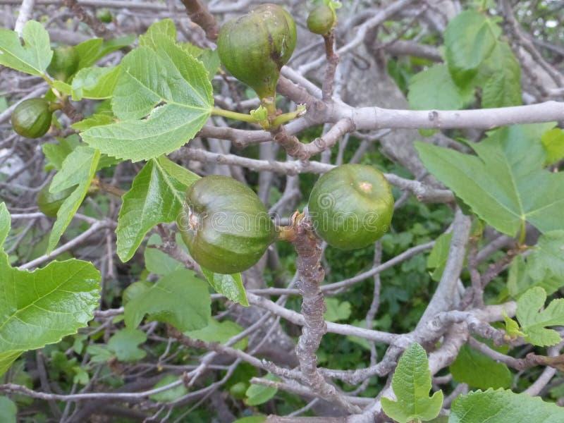 在坎帕内特村庄的绿色果子 免版税库存图片