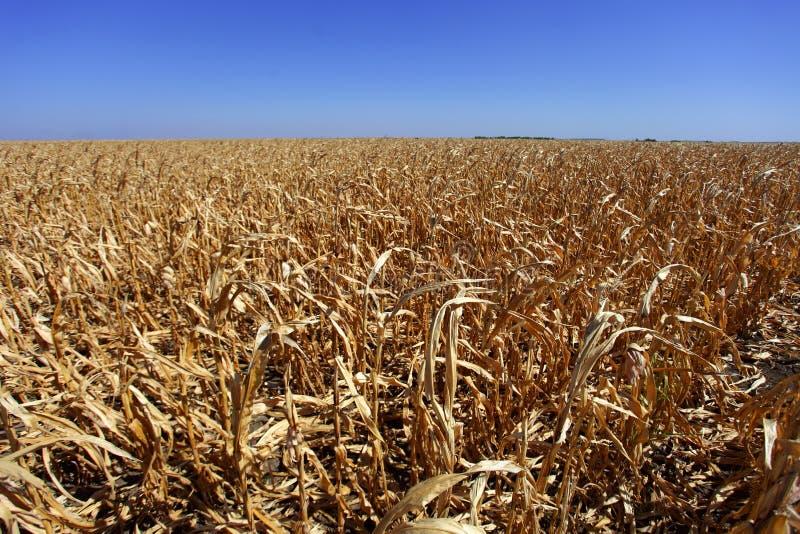 在坏形状的麦地 免版税库存图片