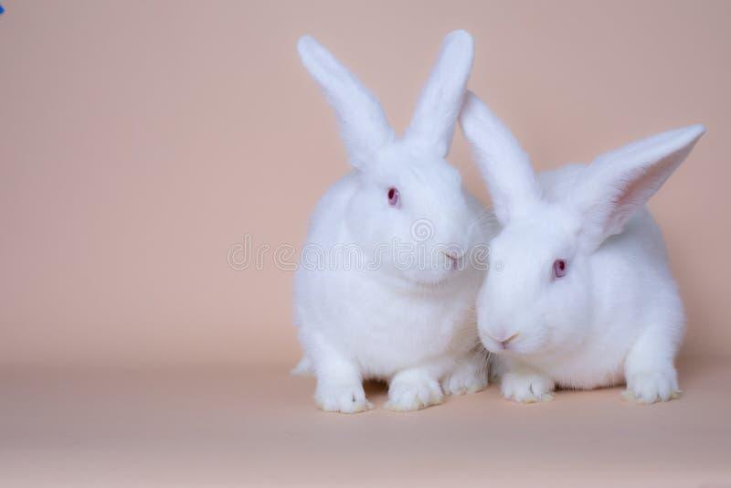 在坚实桃红色背景的两三逗人喜爱的白色小兔 图库摄影