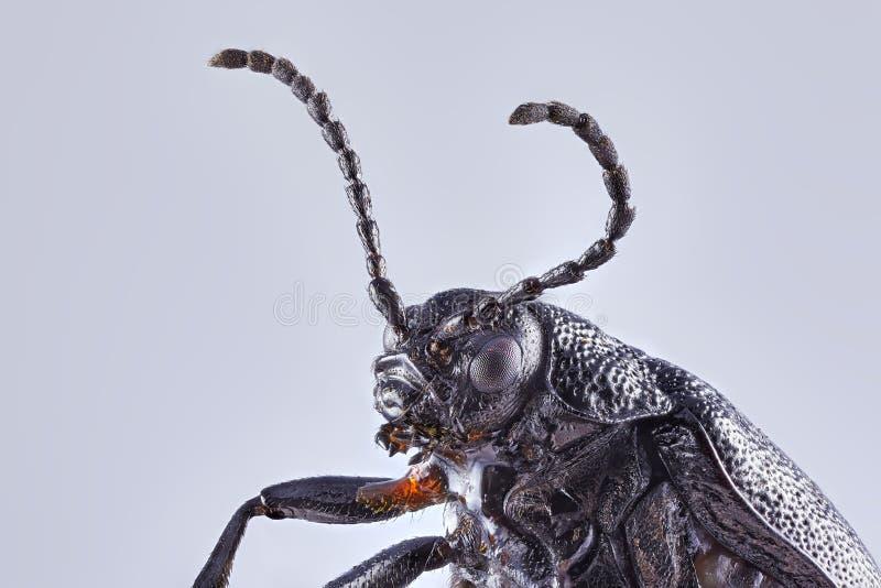 在坚实背景的一只大地球乏味甲虫 堆积图象的宏观关闭 库存照片