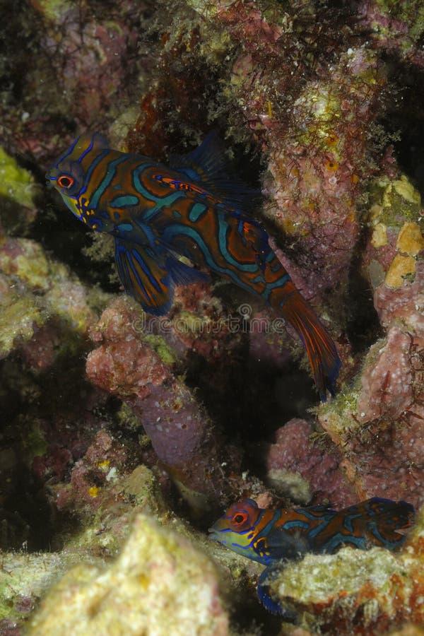 在坚硬珊瑚洞掩藏的男性和女性普通话鱼Synchiropus splendidus 图库摄影