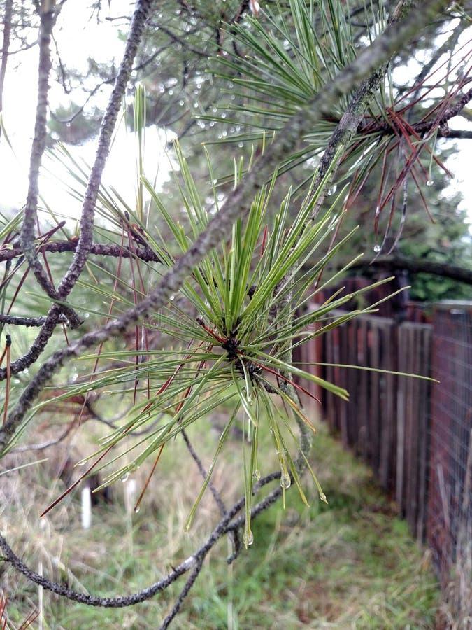 在坚硬雨以后的杉木针 免版税库存照片