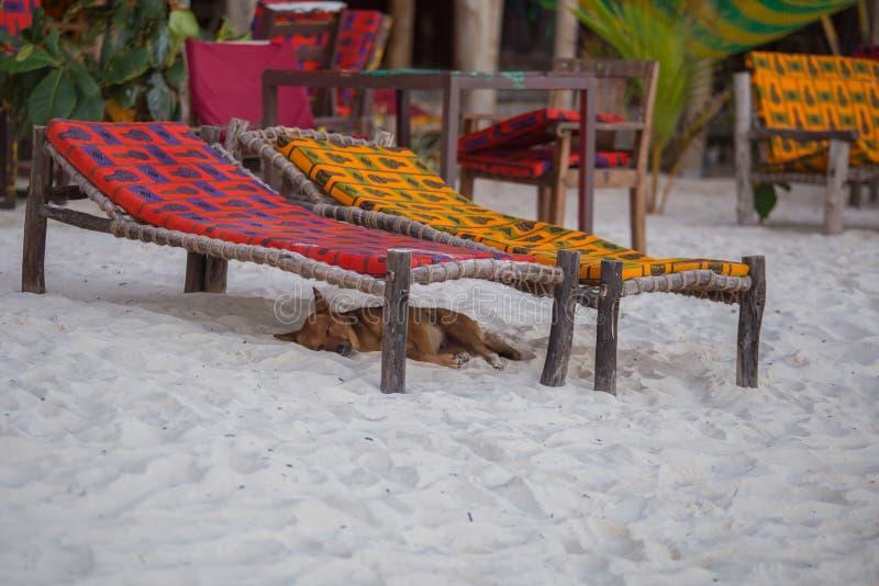 在坦桑尼亚附近的旅行 在海滩的一条狗 桑给巴尔的本质 库存图片
