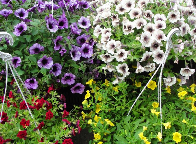 在垂悬的花盆的美丽的喇叭花 图库摄影