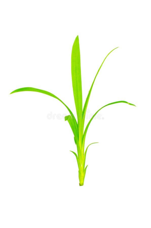 在垂直的白色背景隔绝的年轻绿色Pandan叶子露兜树amaryllifolius 免版税库存图片