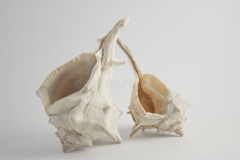 在垂直的看法的双重海壳 免版税图库摄影