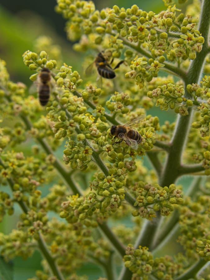 在垂直的绿色酸果漆树,背景的蜂,保存蜂 免版税库存图片