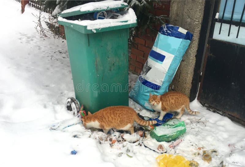 在垃圾容器附近的无家可归的猫 猫驱散了垃圾和吃 库存图片