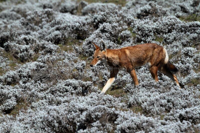 在埃塞俄比亚的大包山的埃赛俄比亚的狼在非洲 免版税库存图片