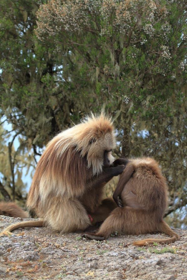 在埃塞俄比亚的Simien山的Gelada狒狒 免版税图库摄影