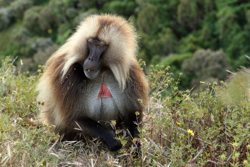 在埃塞俄比亚的Simien山的Gelada狒狒 库存图片
