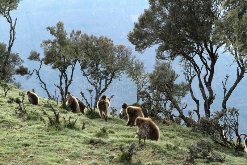 在埃塞俄比亚的Simien山的Gelada狒狒 库存照片
