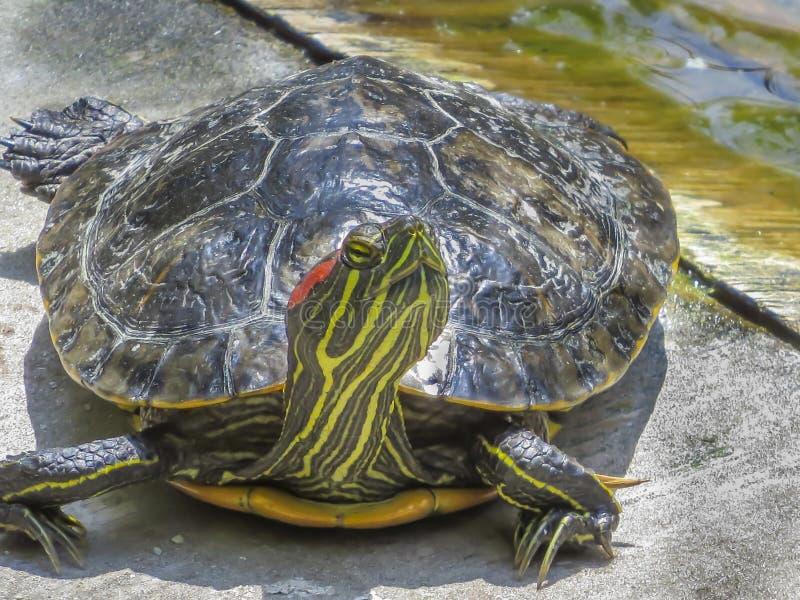 头在埃尔多拉多东部地方公园的Hight乌龟 免版税图库摄影