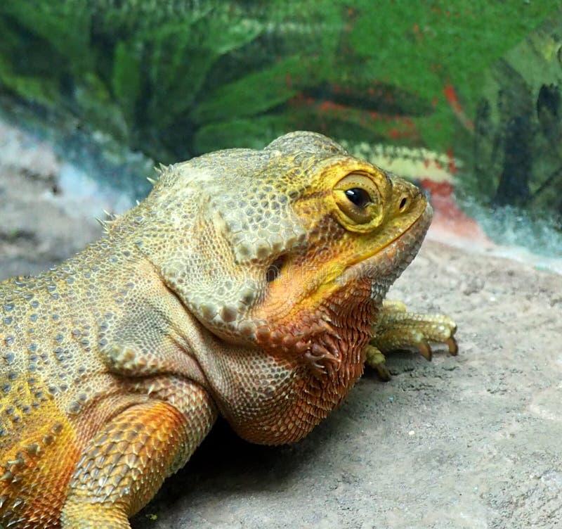 在埃德蒙顿谷动物园的困蜥蜴 免版税库存图片