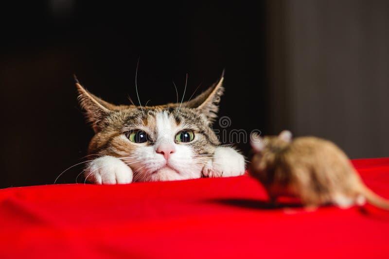 在埋伏的猫在老鼠狩猎 免版税库存图片
