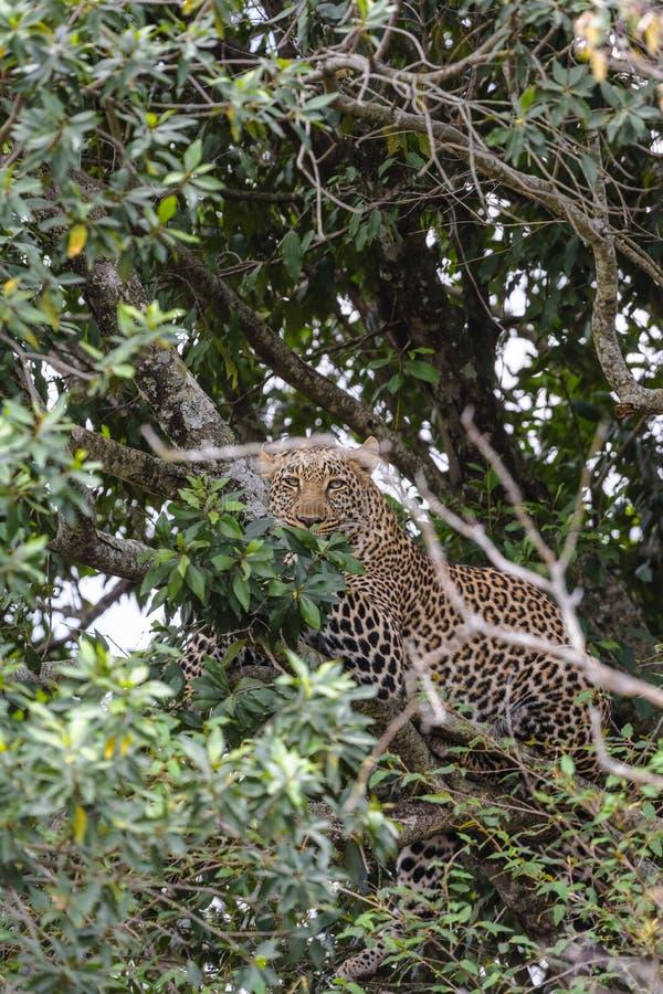 在埋伏的非洲豹子 肯尼亚mara马塞语 免版税库存图片