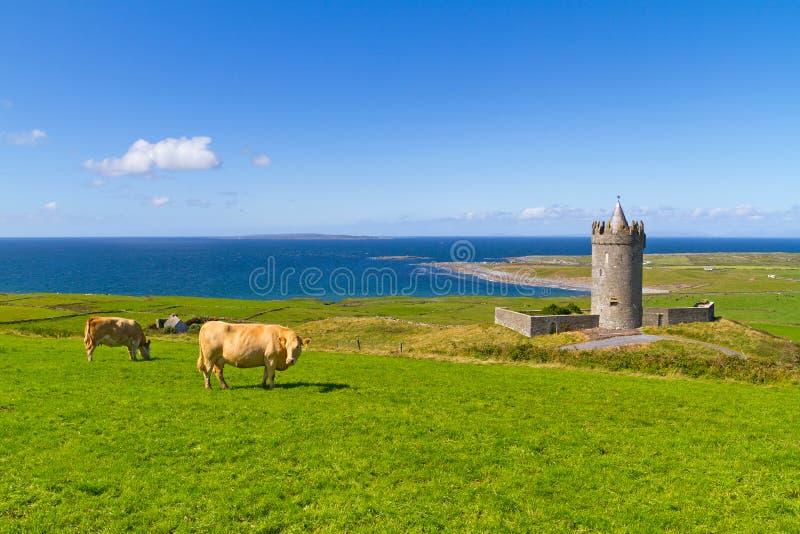 在城堡的母牛在爱尔兰 免版税库存图片