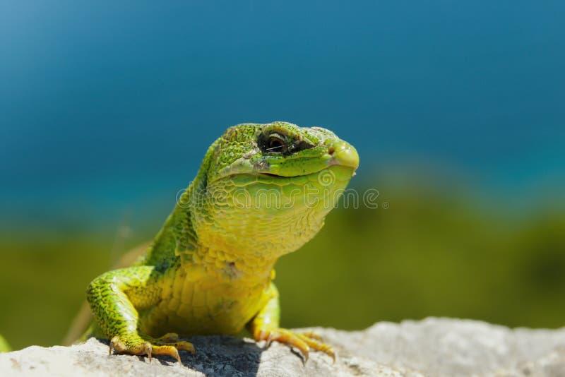 在城堡的蜥蜴 免版税图库摄影