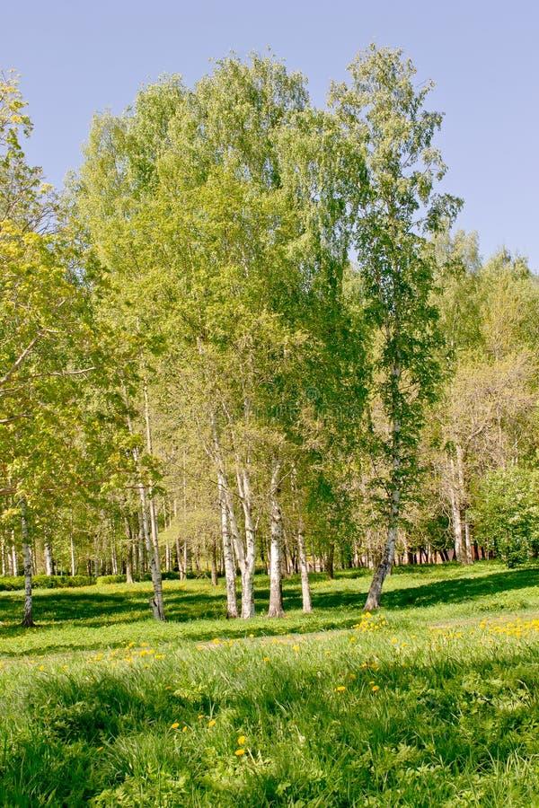 在城市公园与白色吠声和另外植被的很多桦树 库存照片