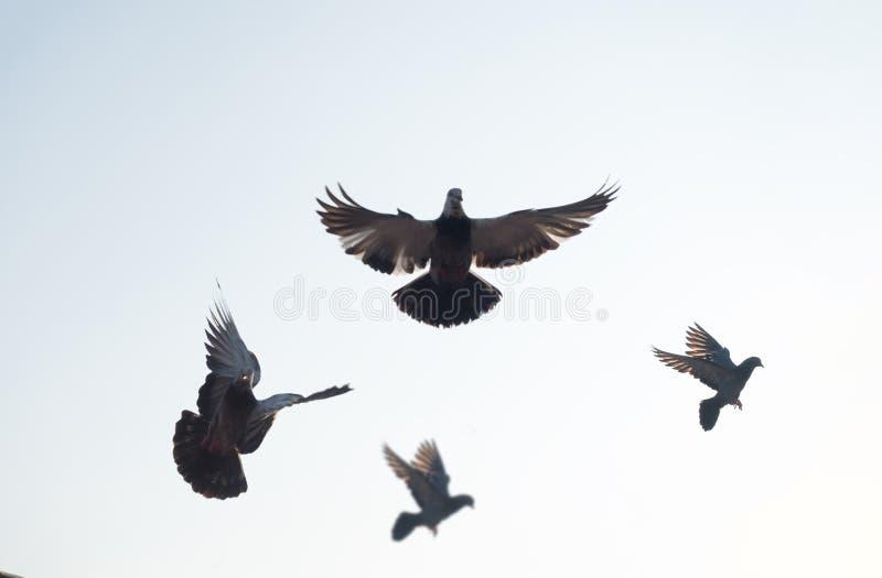 在城市公园的鸽子鸟 免版税库存照片