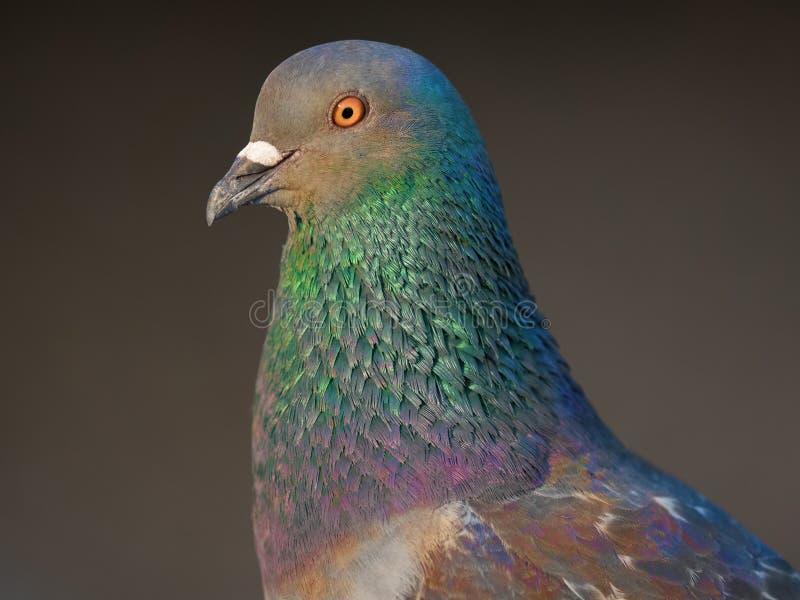 在城市公园的鸽子鸟 库存照片