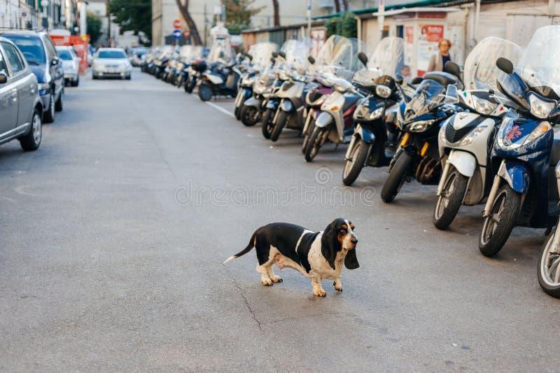 在城市街道上的孤独的哀伤的狗丢失了在汽车之间 免版税图库摄影