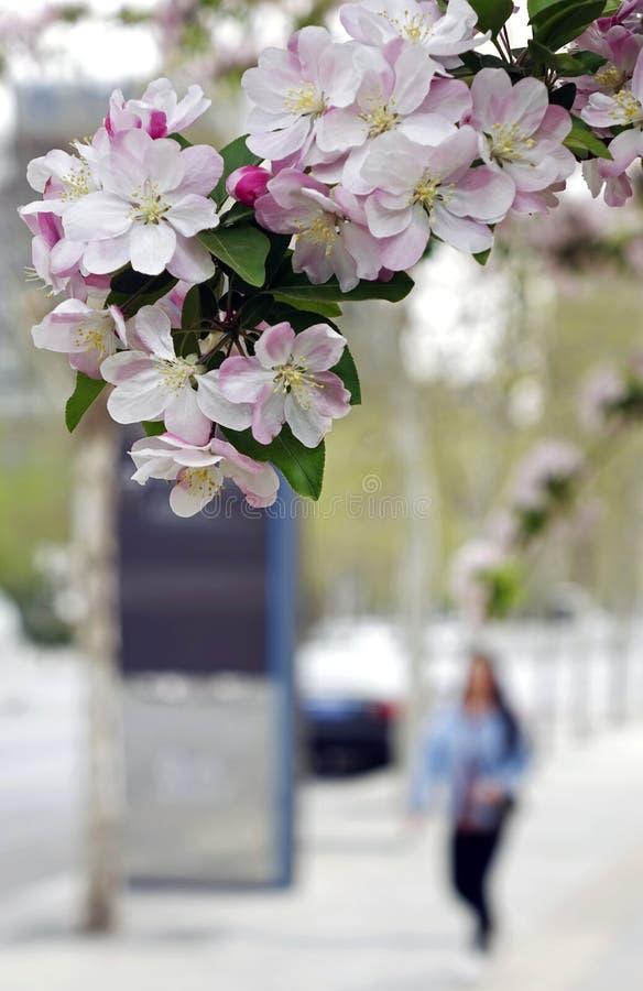 在城市街道上的秋海棠开花 库存照片
