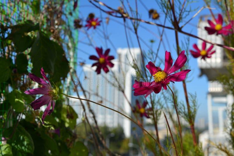 在城市街道被弄脏的背景的明亮的桃红色波斯菊花  阳台的小都市庭院有开花的植物的 免版税库存图片