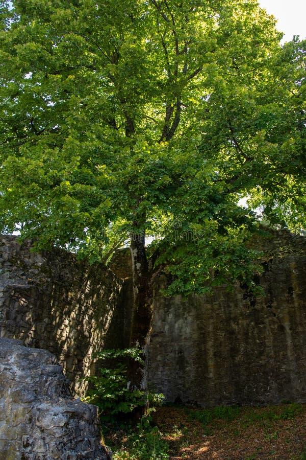 在城镇里面Neuenfels城堡废墟的一棵树在黑森林里 库存图片