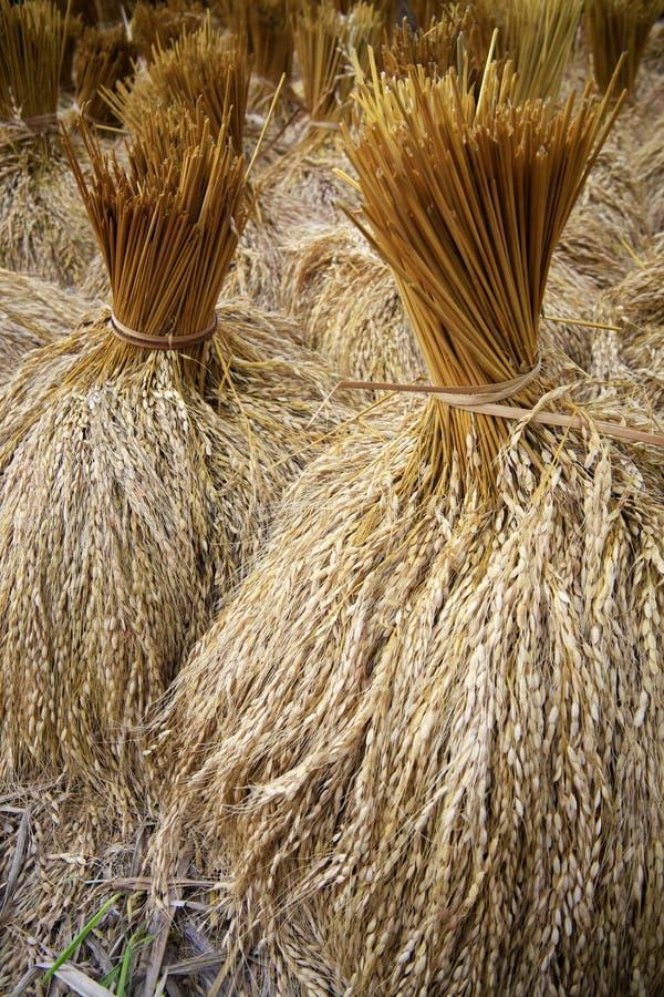 在域的水稻 免版税库存照片